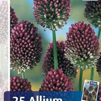 allium sphareocephalon