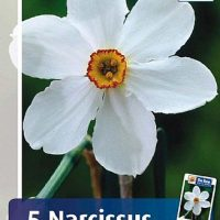 Narcis Actaea pinselilje