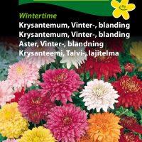 vinterkrysanthemum