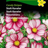 stolt kavaler candy stribes