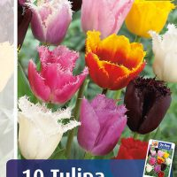 tulipan fringed mix