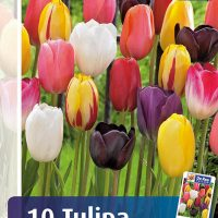 tulipan mix single late